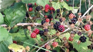 redblackberries